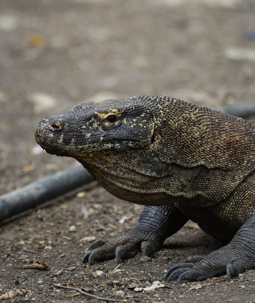 komodo di taman nasional pulau komodo